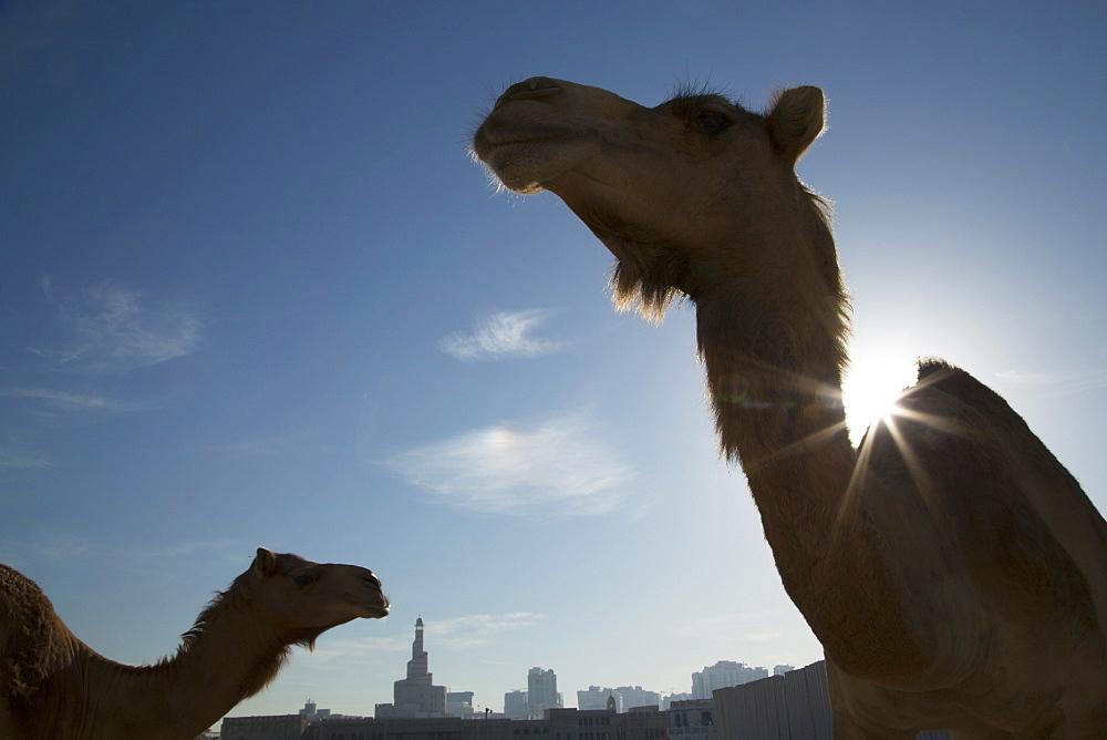 Camels, Doha, Qatar, Middle East