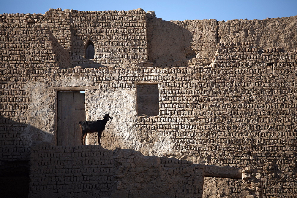 A goat stands among the ruins of the mud-brick city of Al-Qasr, Dakhla Oasis, Egypt, North Africa, Africa