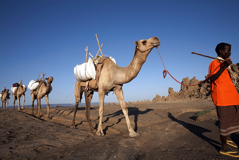 Local nomads drive camels across the desolate landscape of Lac Abbe, Djibouti, Africa