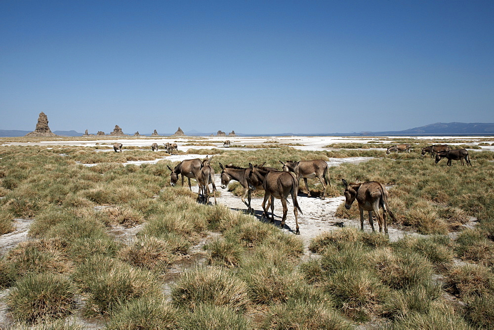 The desolate landscape of Lac Abbe, dotted with limestone chimneys and livestock belonging to local nomads, Djibouti, Africa