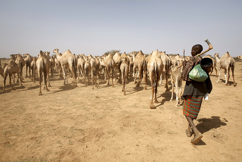 Nomadic camel herders lead their herd to a watering hole in rural Somaliland, northern Somalia, Africa