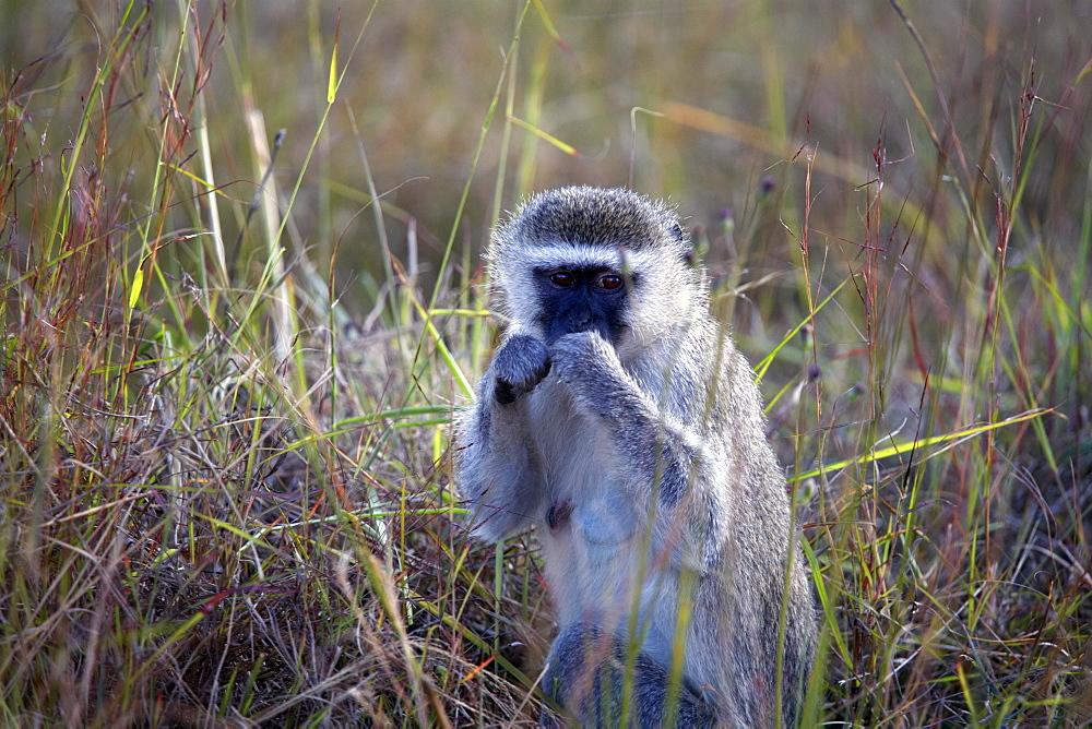 Vervet monkey, Zimbabwe, Africa - 774-781