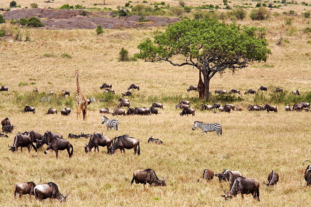 Wildlife in abundance in the Masai Mara National Reserve, Kenya, East Africa, Africa - 774-808