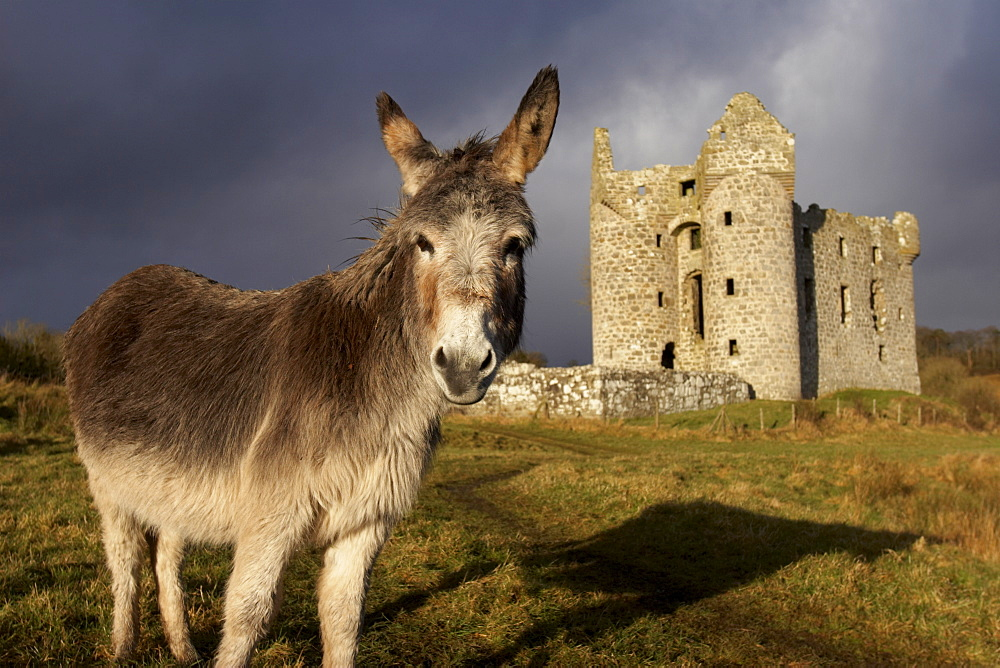 A donkey grazes in front 17th century Monea Castle, County Fermanagh, Ulster, Northern Ireland, United Kingdom, Europe - 774-81