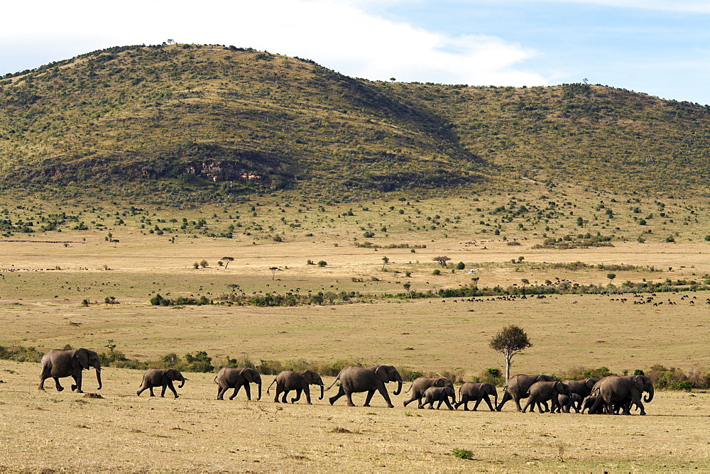A herd of elephants move across an open plain in the Masai Mara National Reserve, Kenya, East Africa