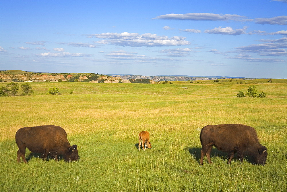 Bison, Theodore Roosevelt National Park North Unit, Watford, North Dakota, United States of America, North America