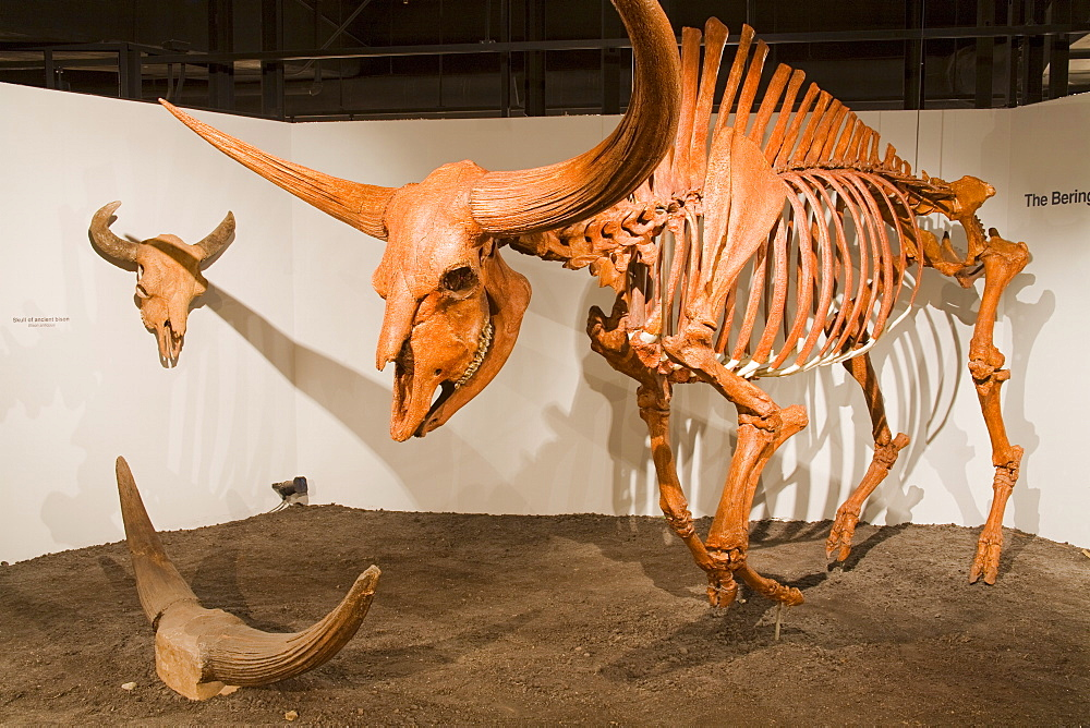 Giant bison skeleton in the Museum of Natural History and Science, Cincinnati Museum Center at Union Terminal, Cincinnati, Ohio, United States of America, North America
