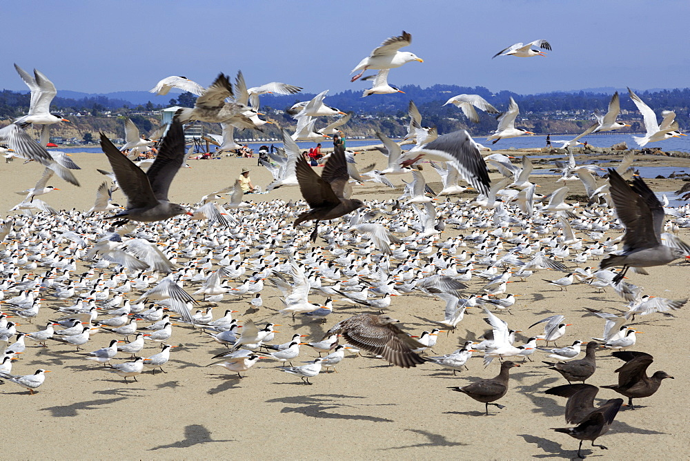Terns and seagulls on Capitola Beach, Capitola City, Santa Cruz County, California, United States of America, North America
