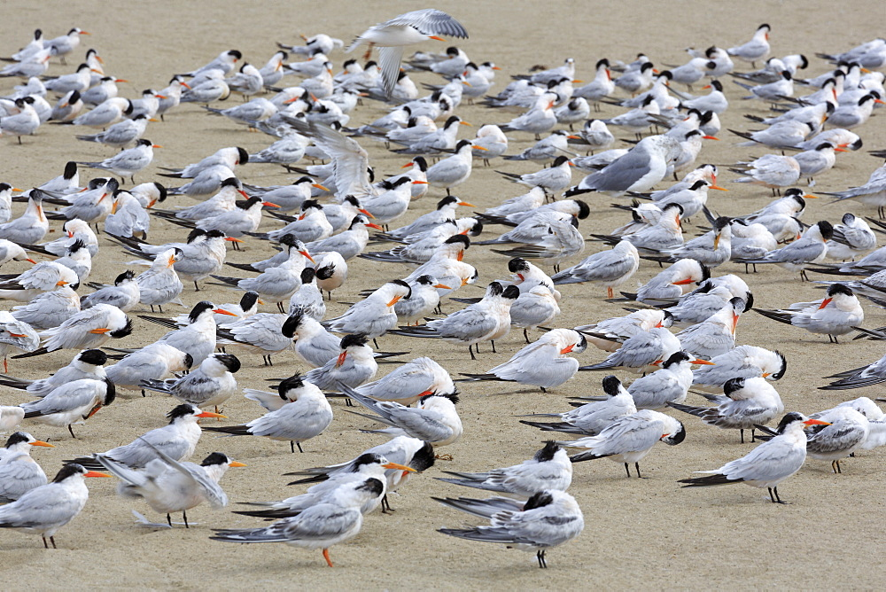 Terns on Capitola Beach, Capitola City, Santa Cruz County, California, United States of America, North America