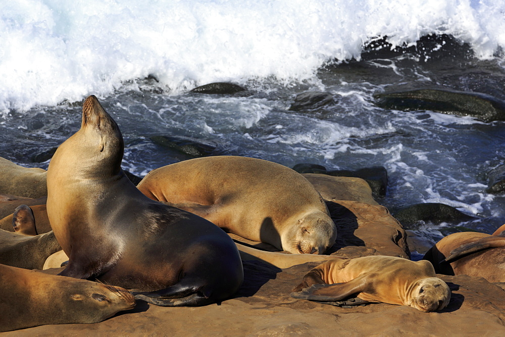 Sea Lions, La Jolla, San Diego, California, USA