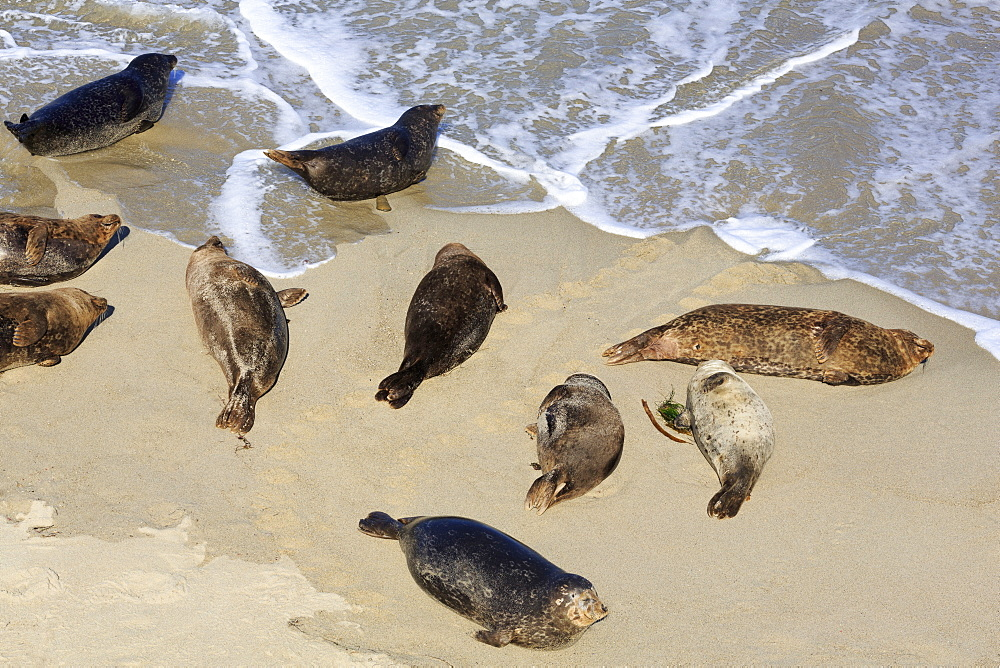 Harbor seals, La Jolla, San Diego, California, United States of America, North America