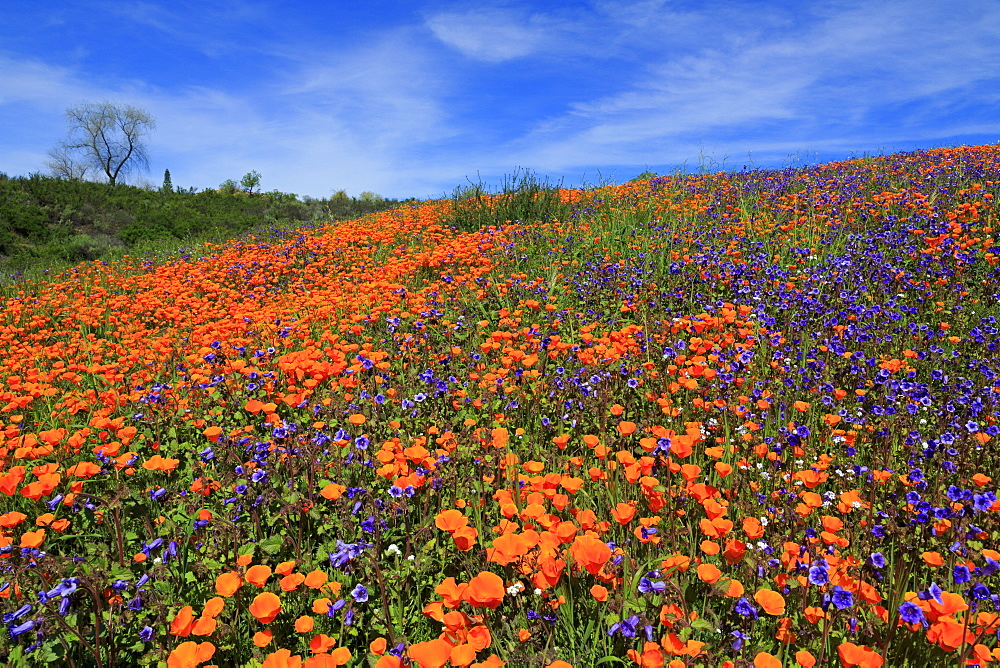 Poppy flowers, Malibu Creek State Park, Los Angeles, California, United States of America, North America
