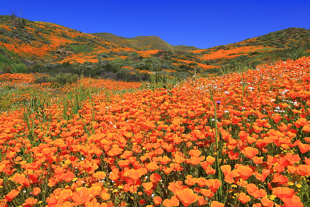 Poppies, Chino Hills State Park, California, United States of America, North America