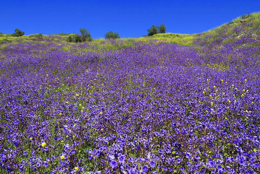 Wild Canterbury Bells, Walker canyon, lake Elsinore, Riverside County, California, USA