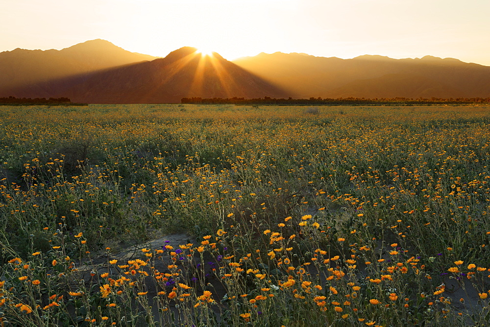 Desert Sunflowers, Anza-Borrego Desert State Park, Borrego Springs, California, USA