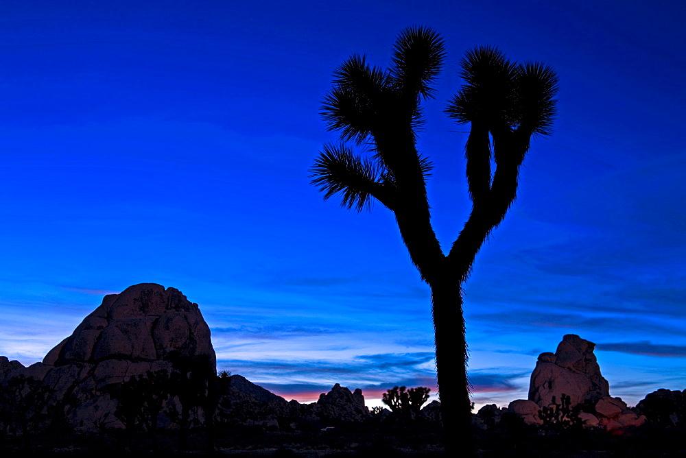 Silhouette of Joshua tree, Hidden Valley area, Joshua Tree Nationa Park, California, United States of America, North America