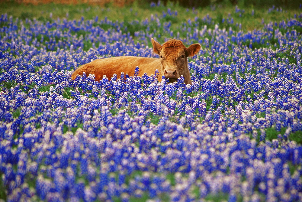 Calf in bluebonnets, Hill Country region, Austin, Texas, United States of America, North America