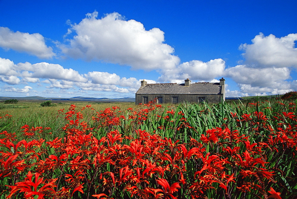 Montbretia flowers and old cottage, Blacksod Bay, County Mayo, Connacht, Republic of Ireland, Europe - 777-594