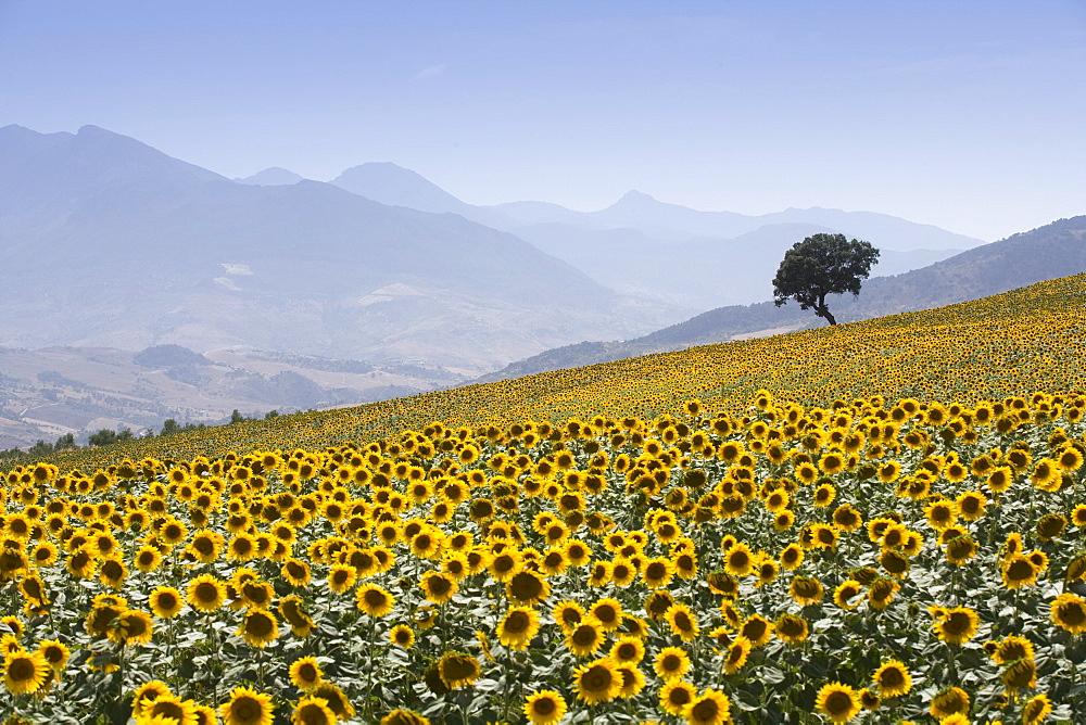 Sunflowers, near Ronda, Andalucia (Andalusia), Spain, Europe - 791-2
