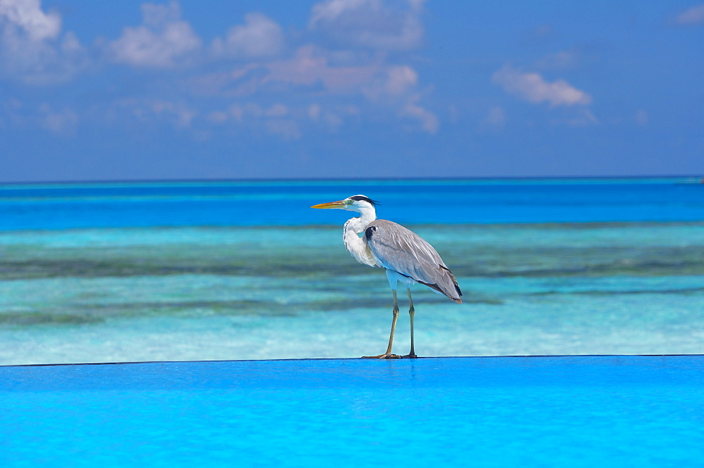 Blue heron standing in water, Maldives, Indian Ocean, Asia - 795-22