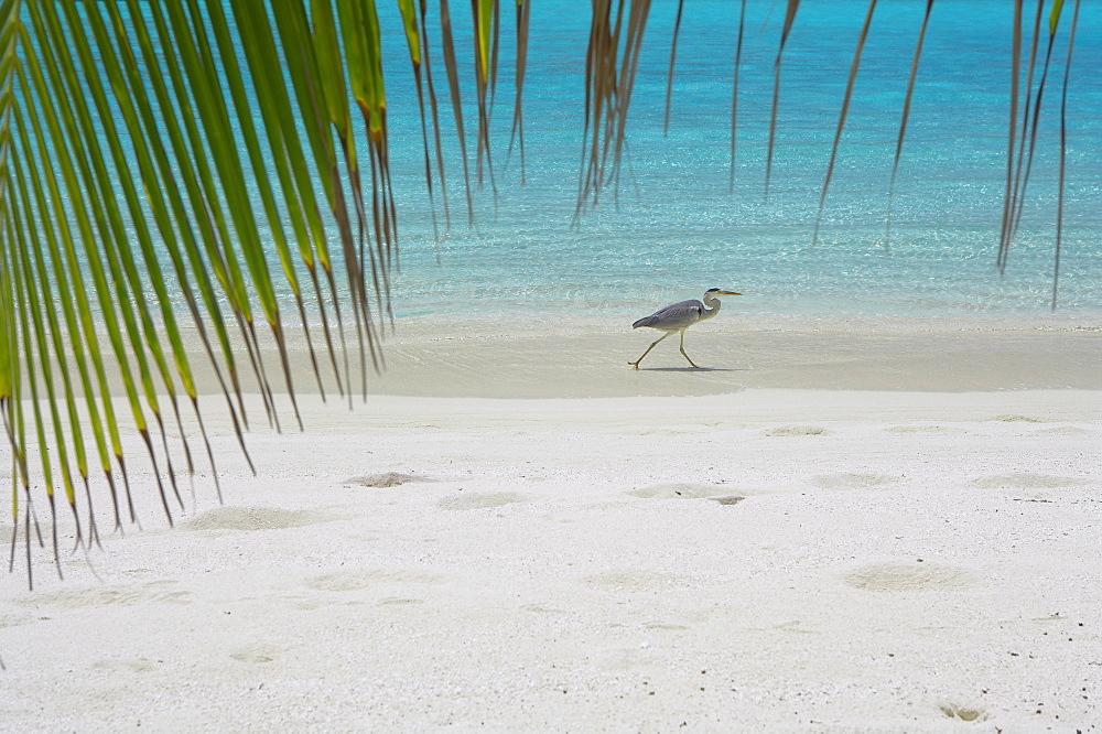 Heron wading along water's edge on tropical beach, Maldives, Indian Ocean, Asia
