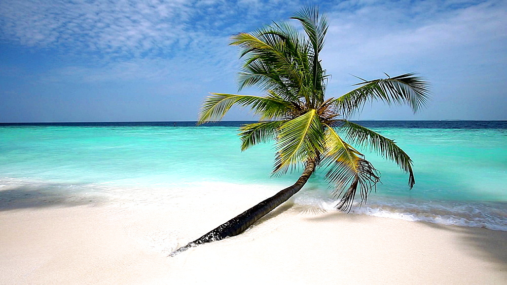 Palm tree on a tropical beach, Maldives, Indian Ocean  - 795-558
