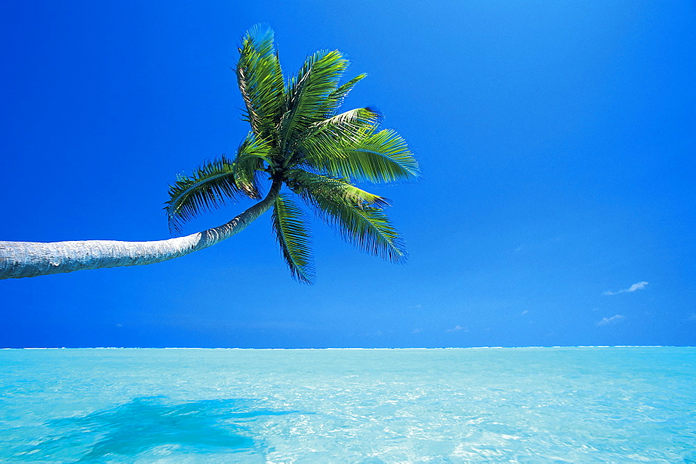 Palm tree overhanging the sea, Male Atoll, Maldives, Indian Ocean, Asia - 795-62