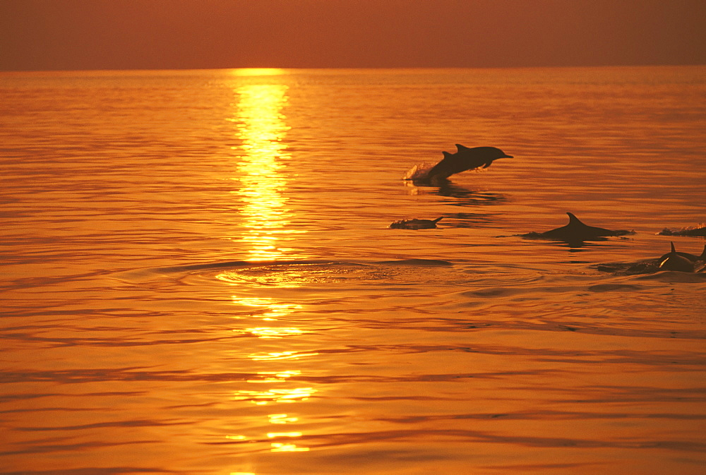 Dolphins swimming at sunset, Maldives, Indian Ocean, Asia