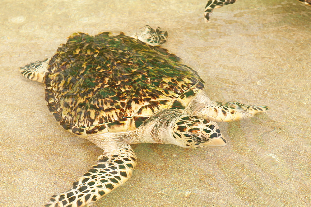 Old Hegg Turtle Sanctuary, Bequia, St. Vincent and The Grenadines, Windward Islands, West Indies, Caribbean, Central America