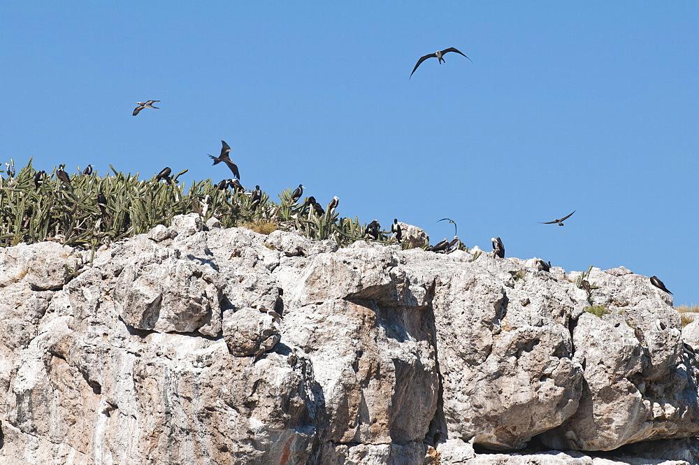 Magnificent frigate bird (Fregata magnificens), Isla Marietas National Park, UNESCO Biosphere Reserve, Puerto Vallarta, Jalisco, Mexico, North America
