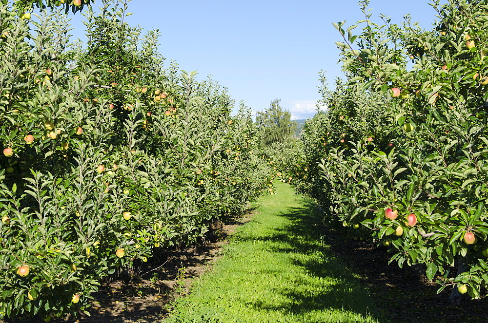 Apple orchard, Kelowna, British Columbia, Canada, North America