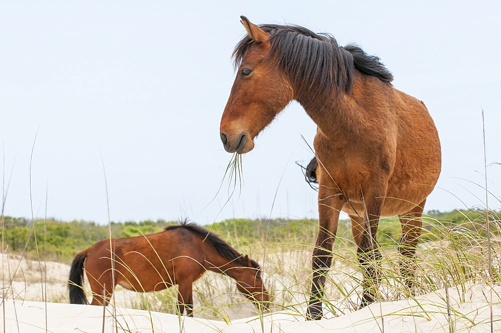 Wild mustangs (banker horses) (Equus ferus caballus) in Currituck National Wildlife Refuge, Corolla, Outer Banks, North Carolina, United States of America, North America