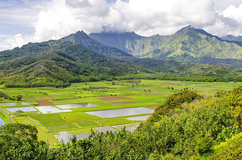 Taro fields in Hanalei National Wildlife Refuge, Hanalei Valley, Kauai, Hawaii, United States of America, Pacific