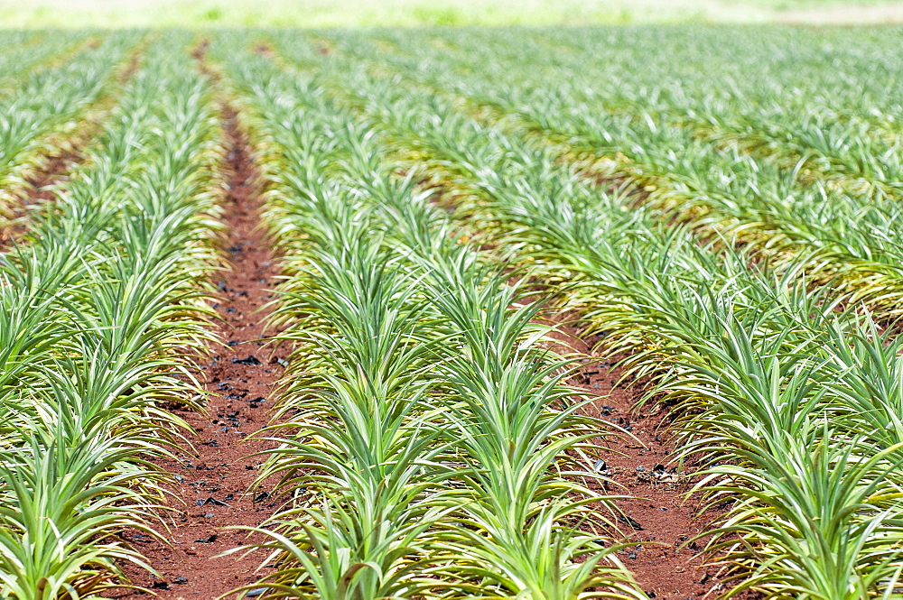 Pineapple plants, Dole Plantation, Wahiawa, Oahu, Hawaii, United States of America, Pacific