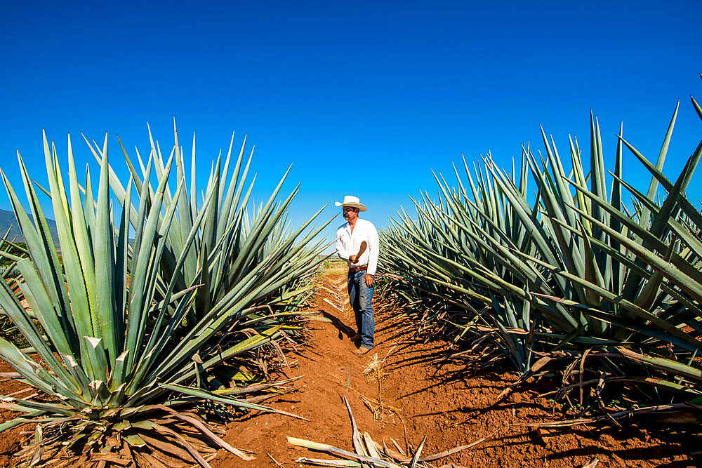Harvesting agave for tequila, Tequila, UNESCO World Heritage Site, Jalisco, Mexico. - 796-2478