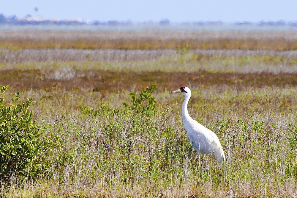Whooping crane, Texas, United States of America, North America