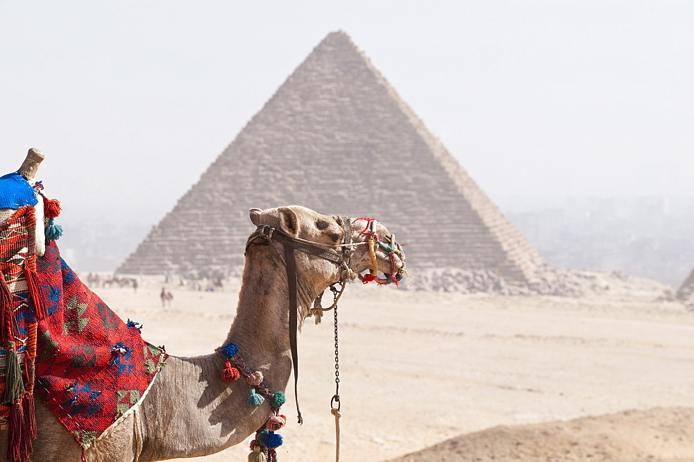 Camel in front of Pyramid, Giza, UNESCO World Heritage Site, near Cairo, Egypt, North Africa, Africa
