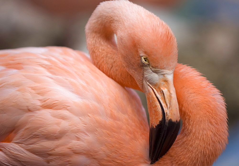 Pink flamingo in Curacao, Netherlands Antilles, Caribbean, Central America - 796-77