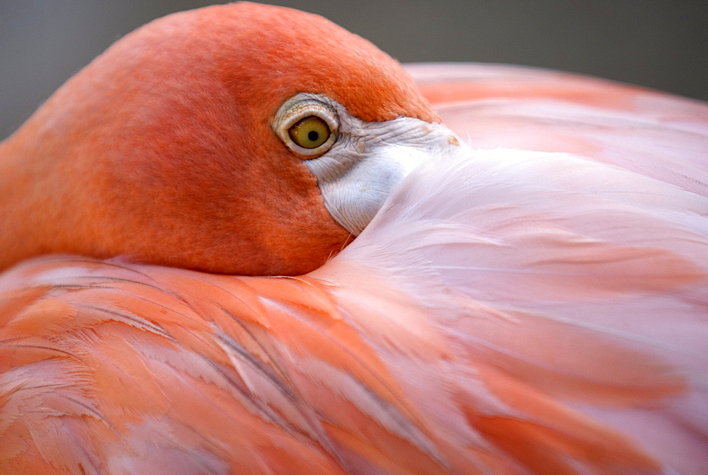 Pink flamingo in Curacao, Netherlands Antilles, Caribbean, Central America