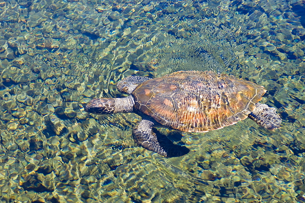 Satoalepai turtle pool, Savaii Island, Western Samoa, South Pacific, Pacific