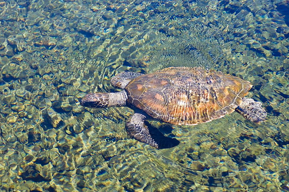 Satoalepai turtle pool, Savaii Island, Western Samoa, South Pacific, Pacific