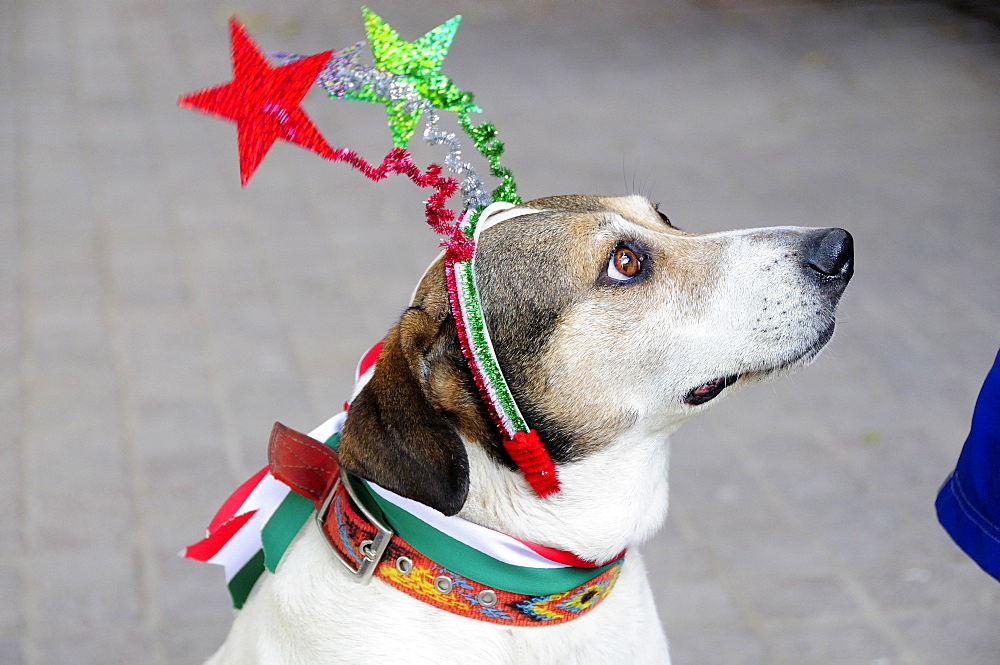 Mexico, Bajio, San Miguel de Allende, El Jardin Dog dressed for Independence Day celebrations.
