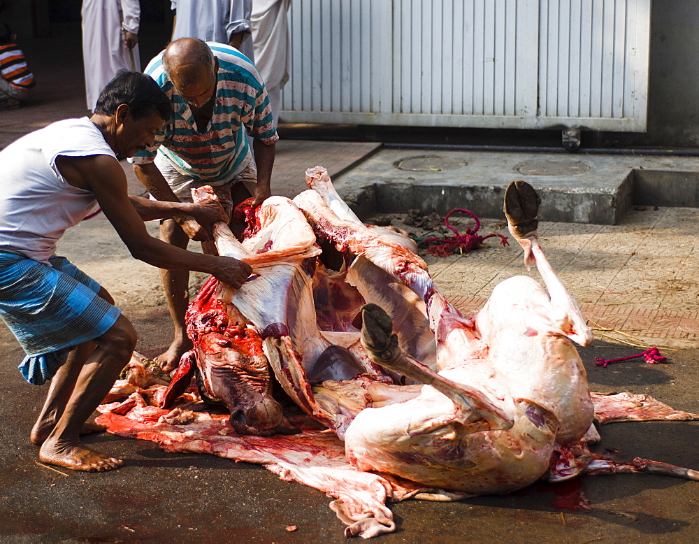 Bangladesh, Dhaka, Gulshan Animals slaughtered in the street for the Muslim Eid-ul-Azha festival.