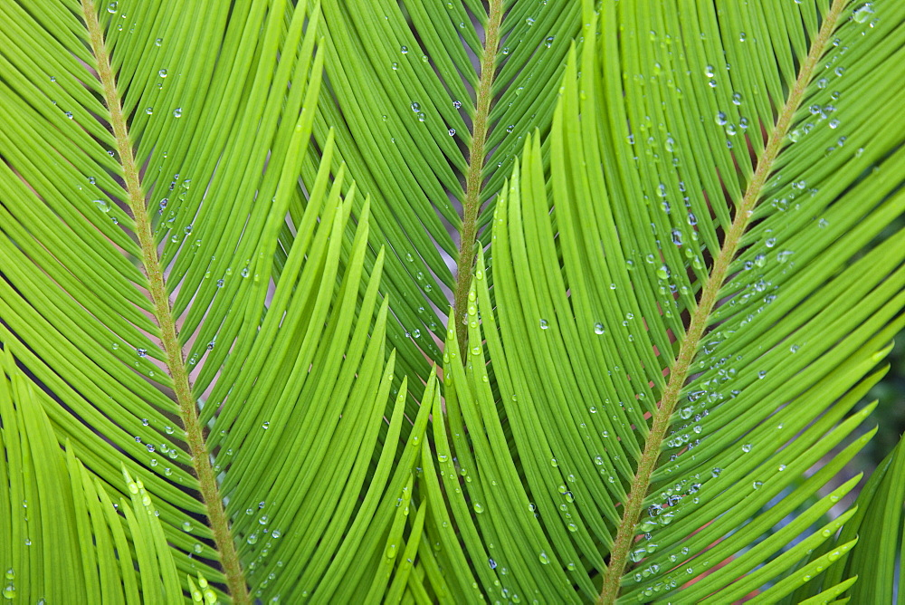 Plants, Sago Palm, Rain droplets on the leaves of Cycas Revoluta.