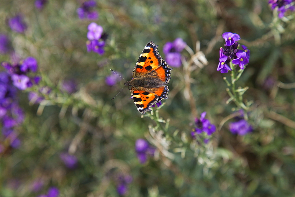 Plants, Flowers, Red Admiral butterfly on purple wild flower.