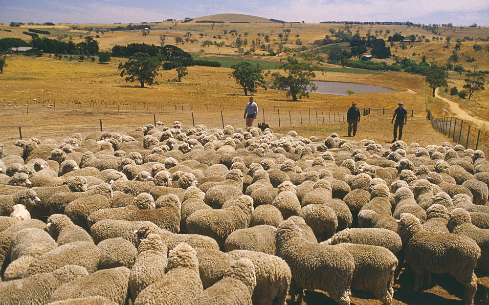 sheep ranch middle eastern single men Sheep and goats easily mingle together in the same flock sheep and goats were tamed very early in the near east in one  the same animals driven by two men,.