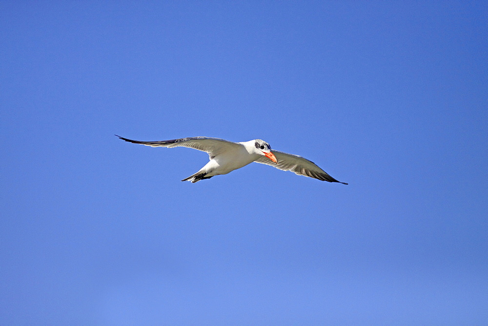 Animals, Birds, Terns, Caspian tern Sterna caspia Adult In Flight In Eclipse Plumage Against Deep Blue Sky In Wintering Grounds December The Gambia West Africa.