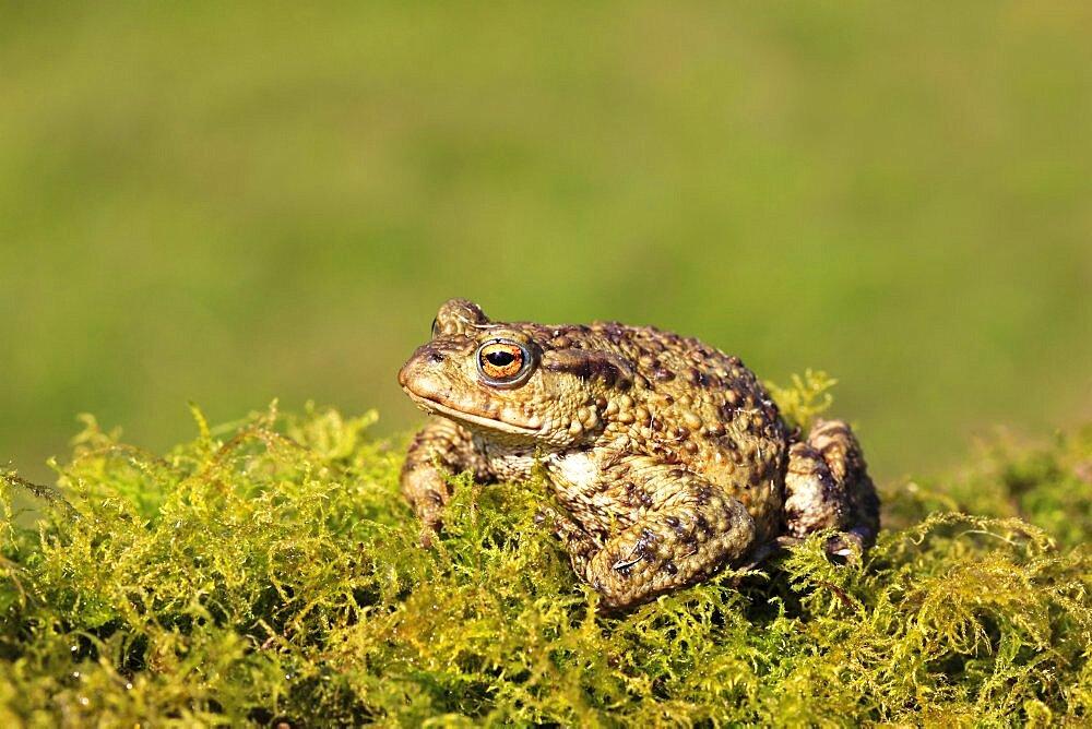 Animals, Amphibians, Toads, Common toad Bufo bufo sat on mossy vegetation March Shropshire England UK.