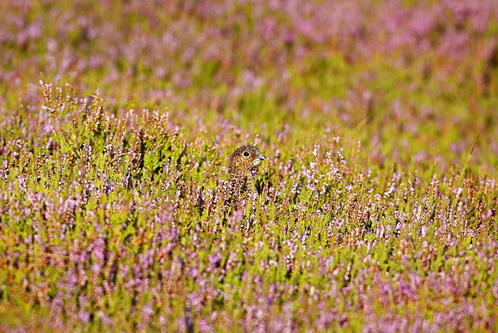 Animals, Birds, Grouse, Red grouse Lagopus lagopus Female hiding amongst heather in the early morning North Yorkshire England UK.