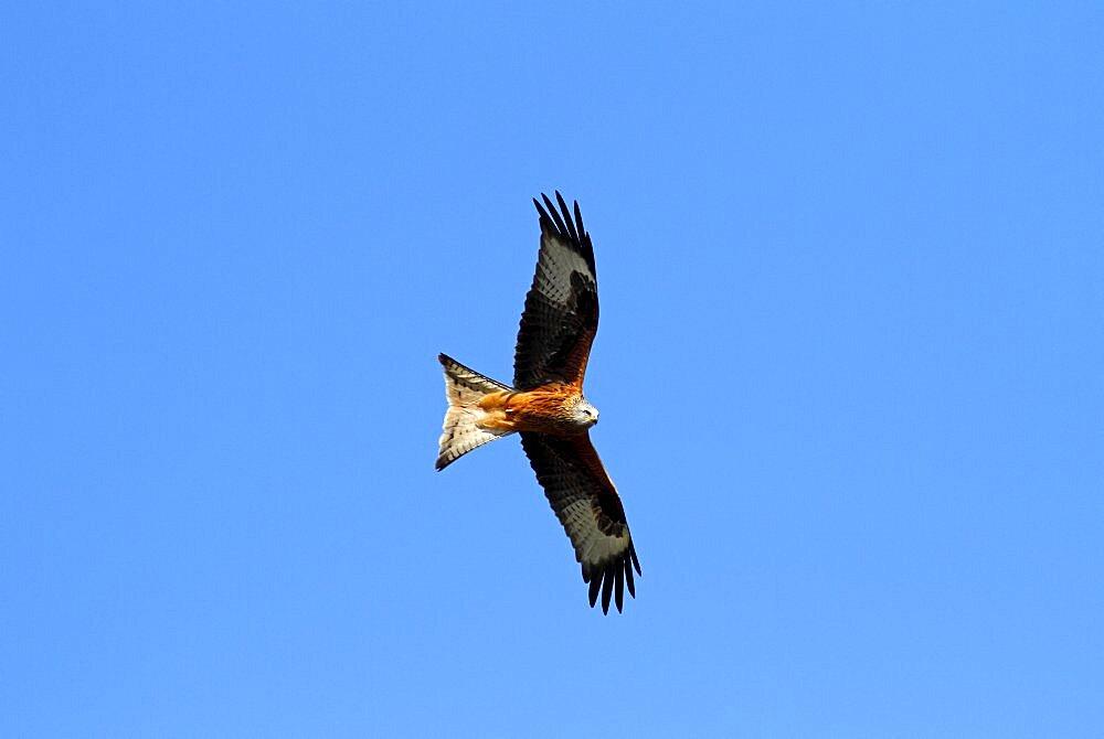 Animals, Birds, Bird of Prey, Red kite Milvus milvus Soaring against blue sky Rhayder Powys Mid Wales UK.